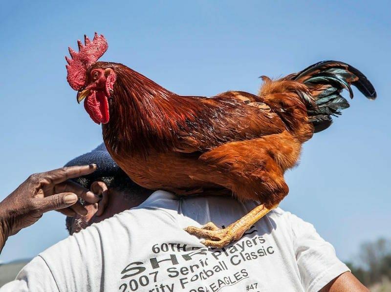 """Lucinda Bunnen's """"Rooster."""""""